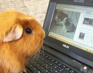 guinea-pig-computer-flickr-castawayinwales-369